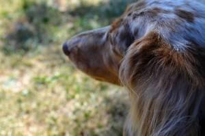 dachs-hound236