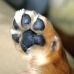 犬が前足に力が入らない理由は? 触ると嫌がって曲げるのは何故?