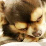 犬が寿命を迎える時の症状は? 極小サイズの犬の寿命は?
