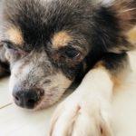 犬の最期(最後)の様子は鳴く? 呼吸が乱れて痙攣も?